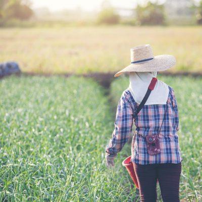 Women gardeners are fertilizing the onion garden at the garden.