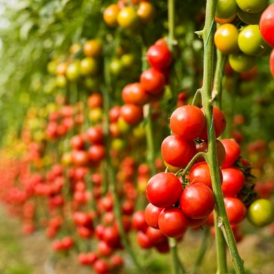 The tomato is one of the widely cultivated vegetables across the globe.